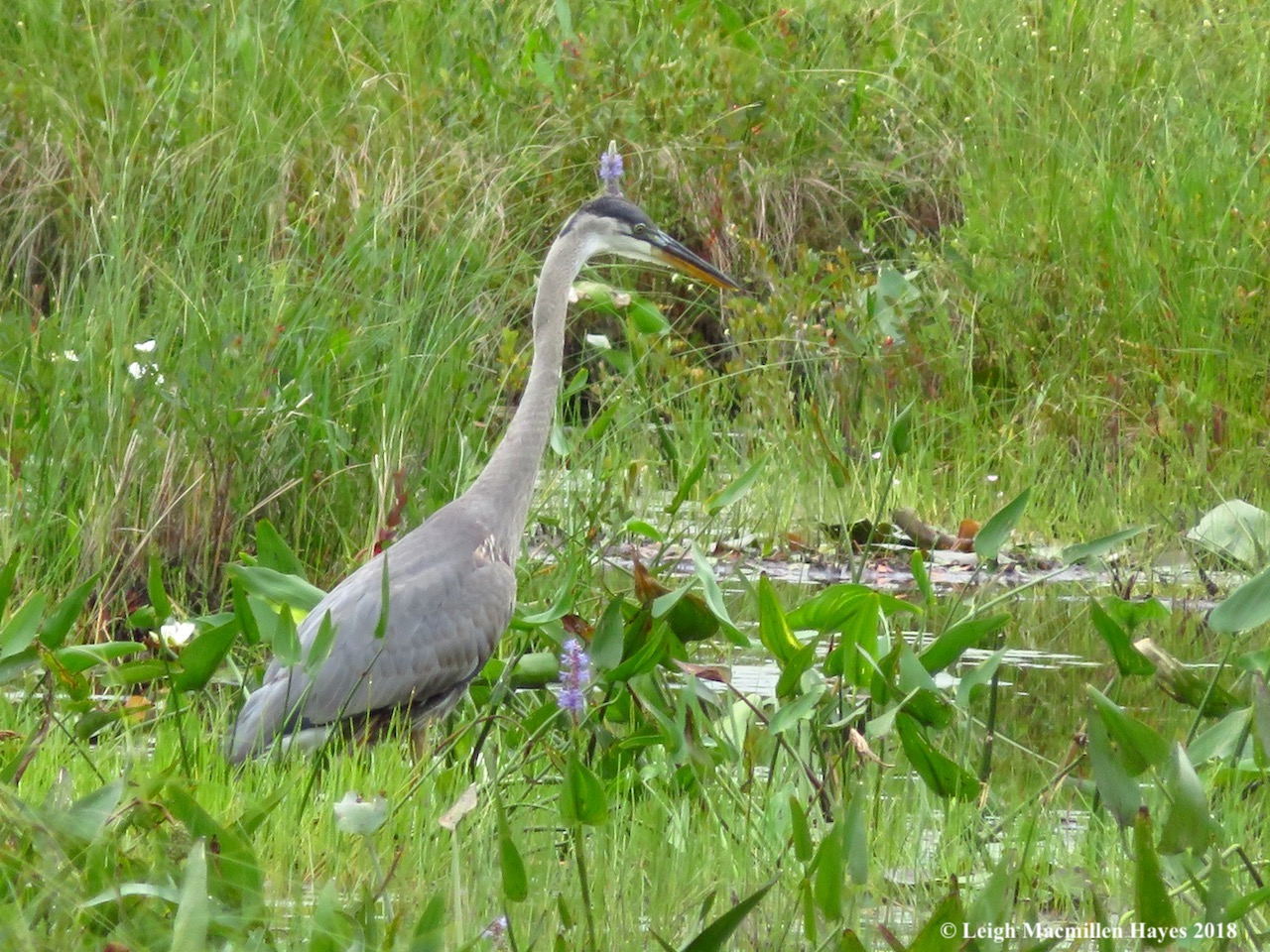 great blue heron | wondermyway