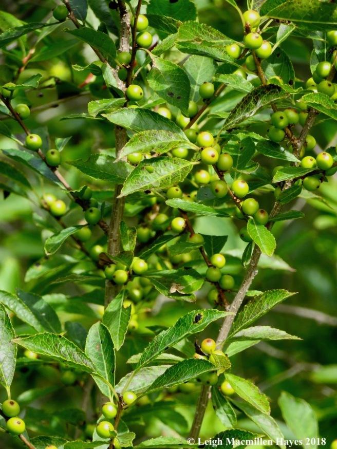 1-winterberry