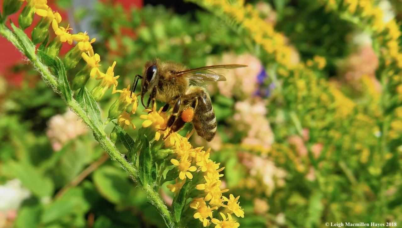 1-worker honeybee foraging