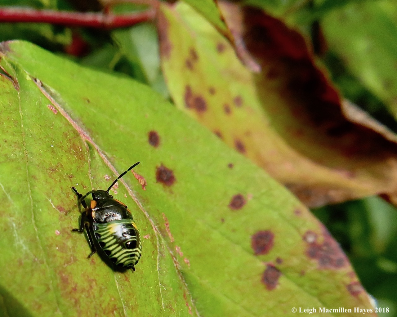11-immature green stink bug