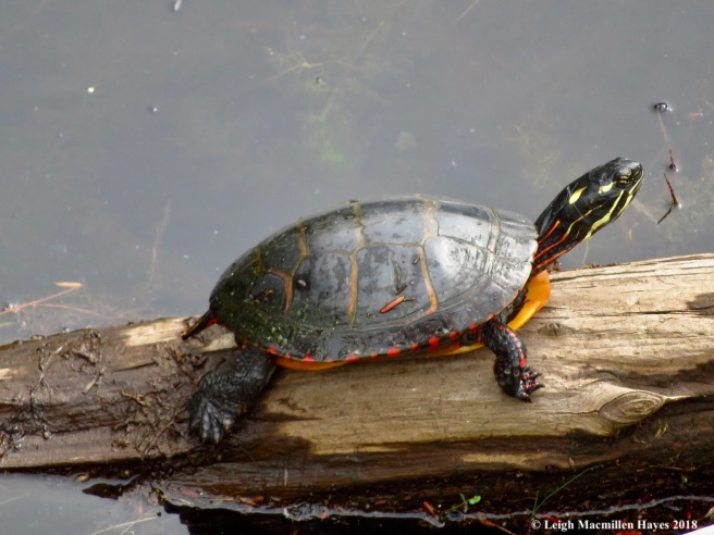 11-painted turtle