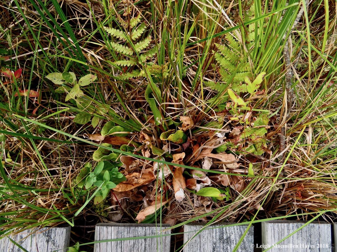 11-pitcher plant 2