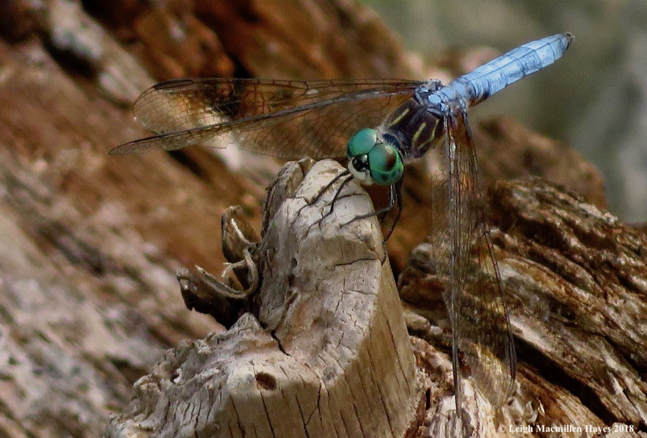 12-male blue dasher