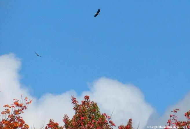 12-soaring above--bald eagles