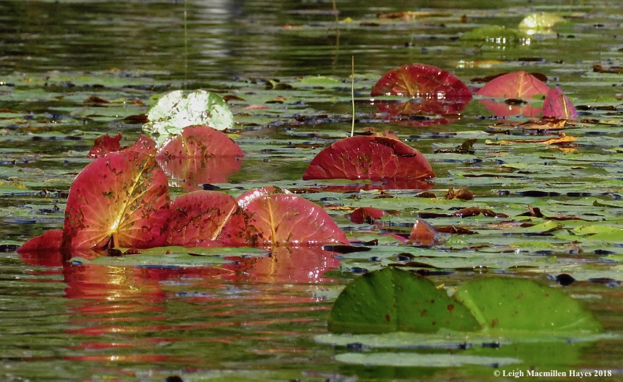 13-lily pads upturned