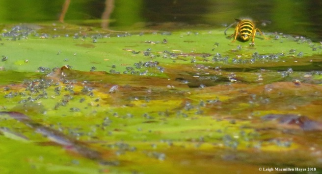 14-lily pad aphids and yellowjackets