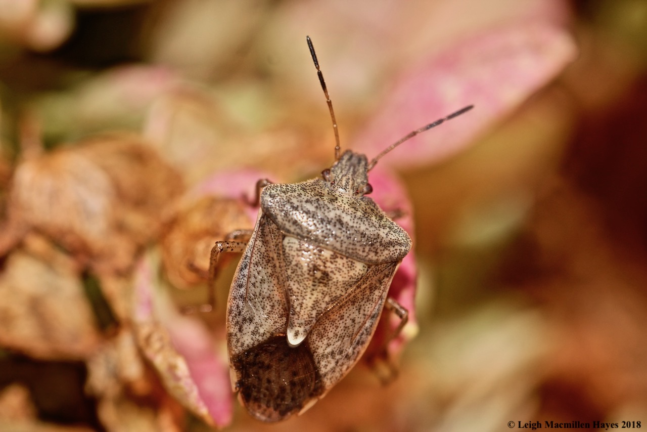 14-shield bug