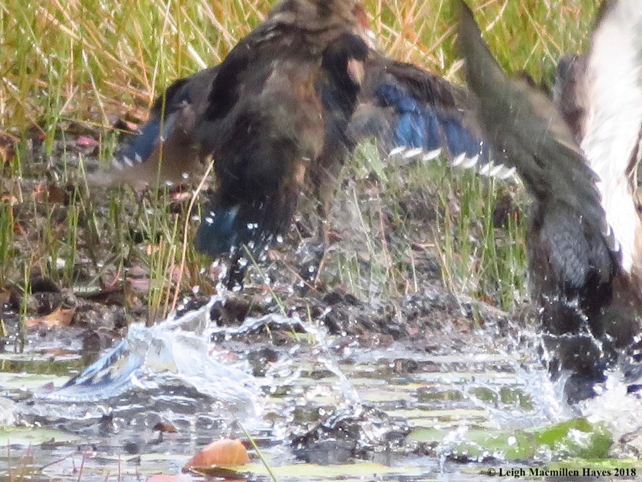 14-wood ducks taking off