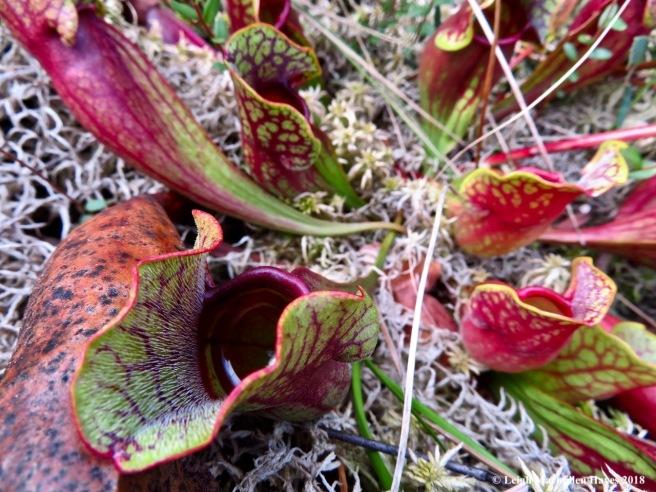 14a-pitcher plant