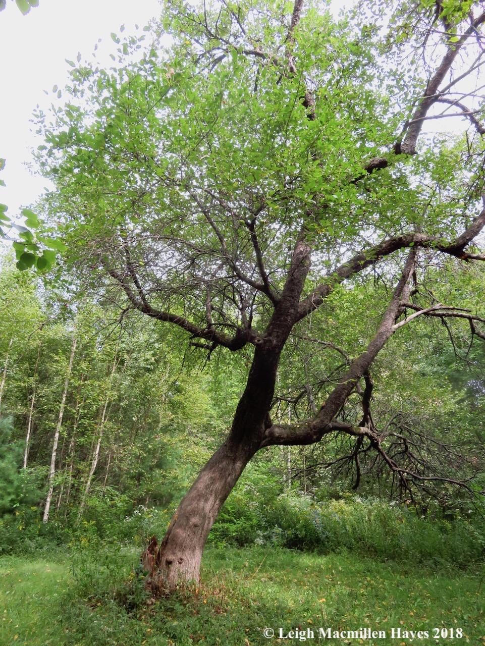 15-apple tree