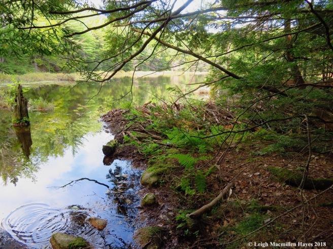 15-beaver dam on Lower Speck Pond