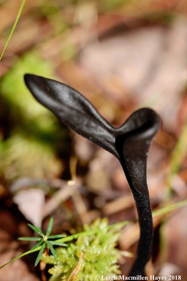 15-forked earth tongue