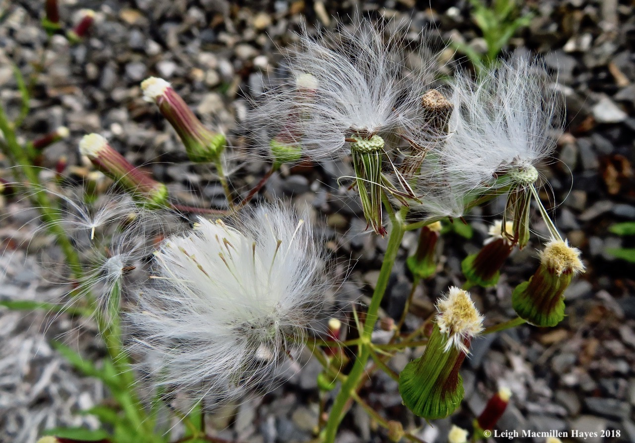 15-pipewort gone to seed
