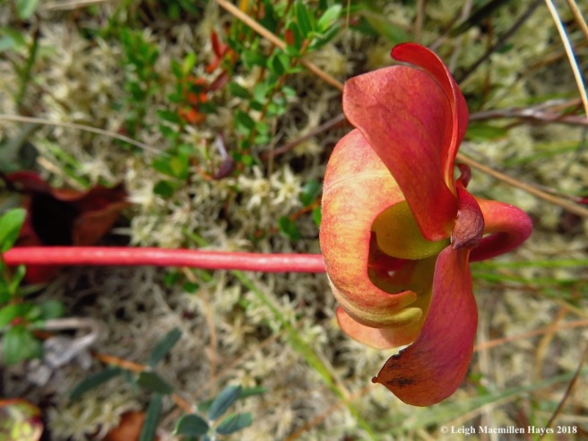 15-pitcher plant flower 2