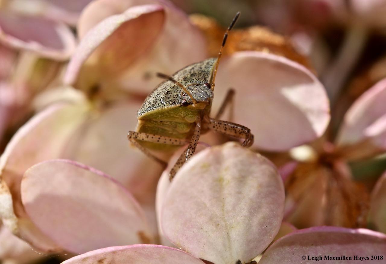 15-shield bug