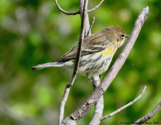 15-yellow-rumped warbler