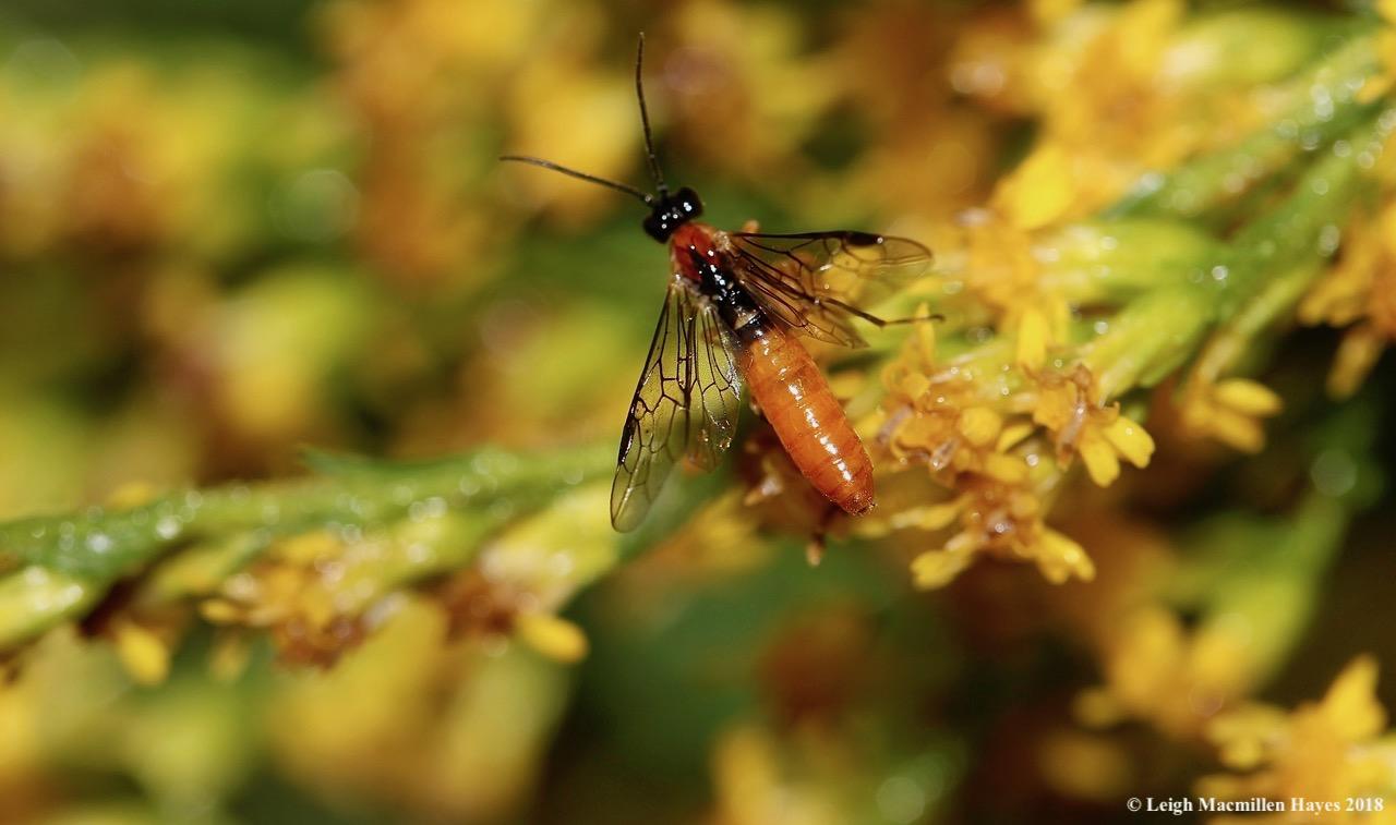 16-sawfly?