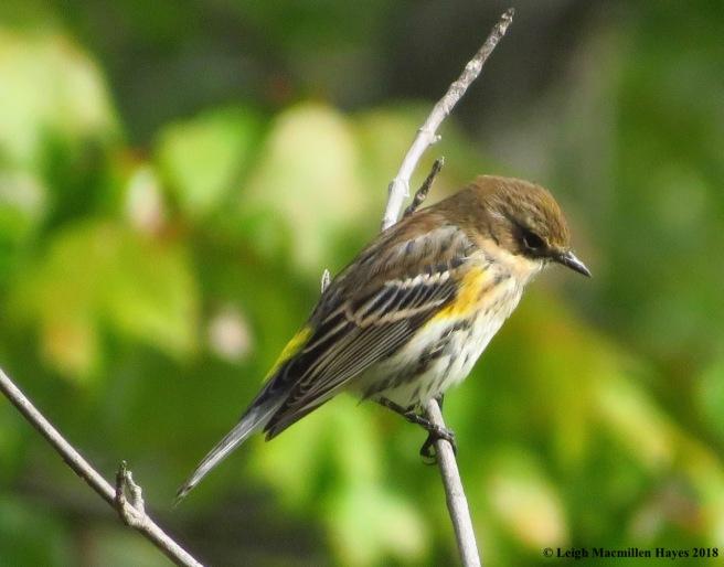 16-yellow-rumped warbler
