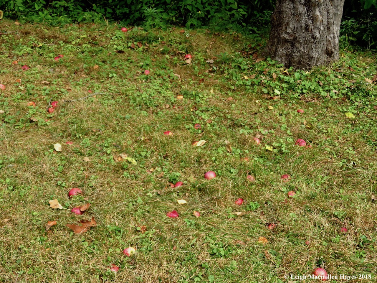 17-apples on ground