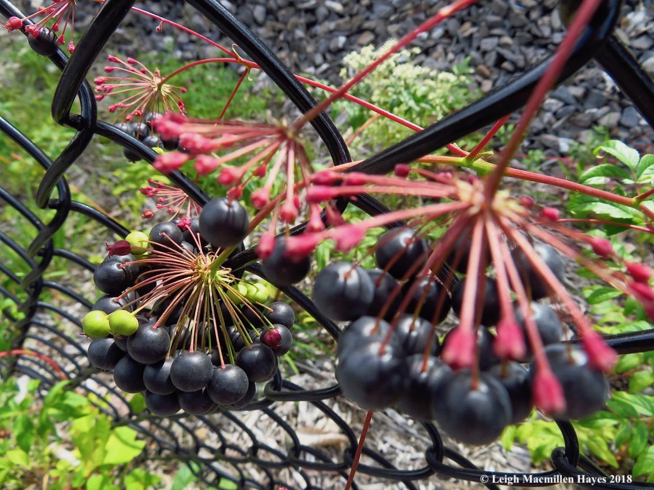 17-Bristly sarsaparilla fruits