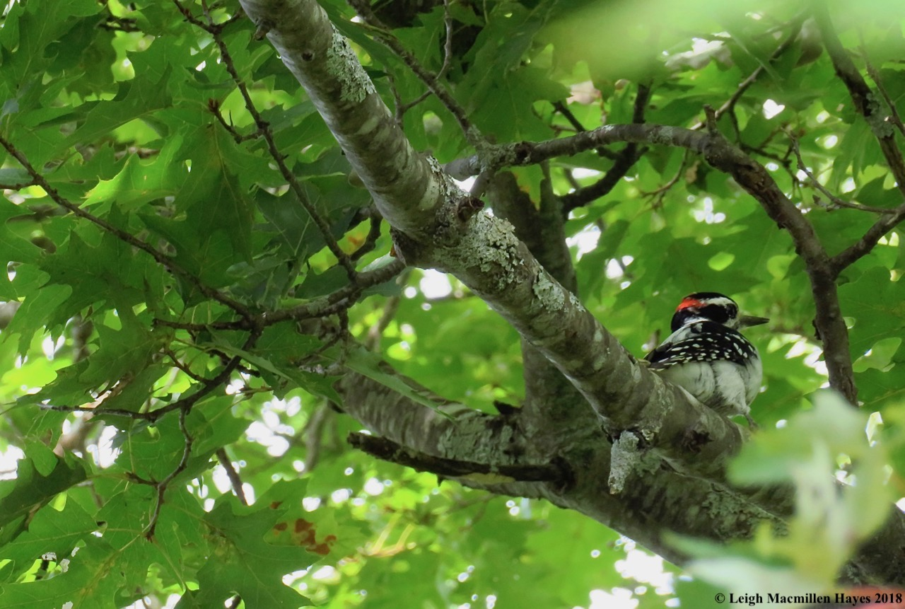 17-hairy woodpecker