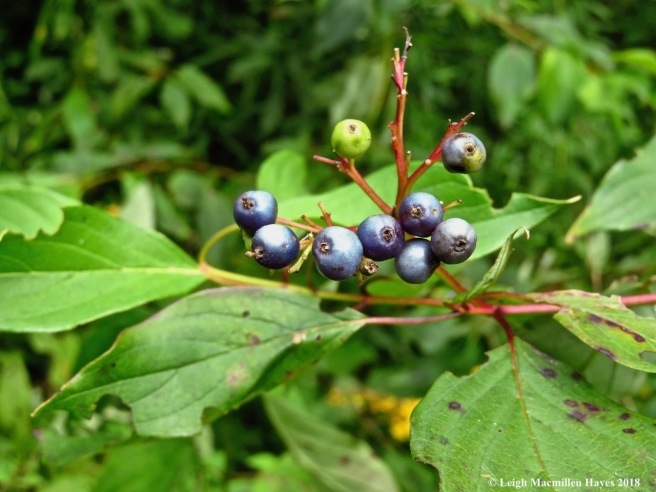 18-silky dogwood fruit