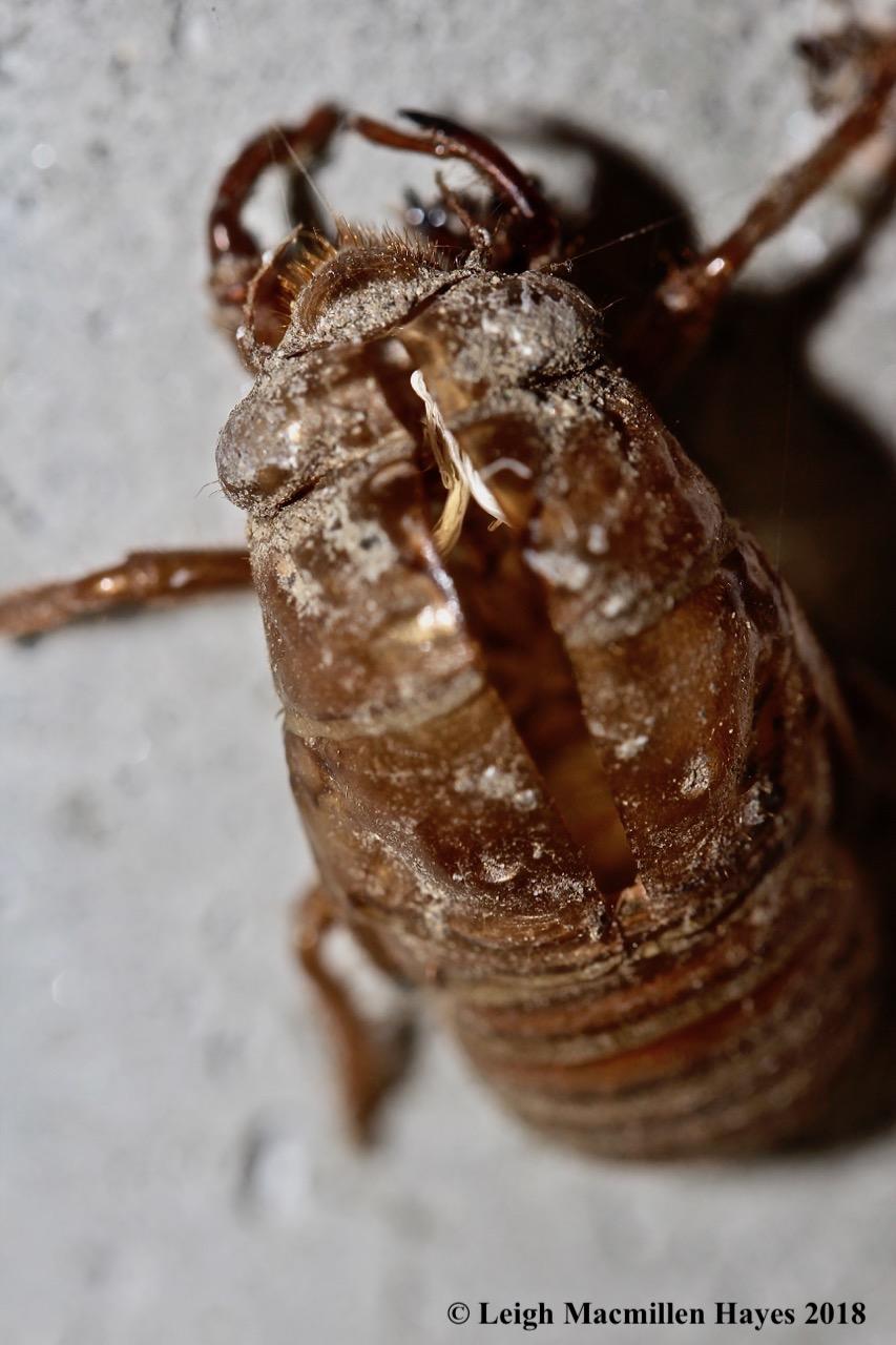 2-cicada exuviae