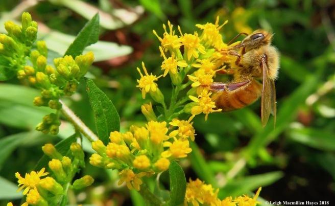 2-honeybee