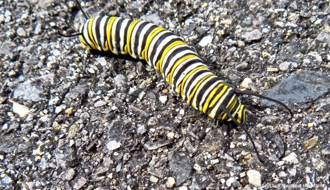 2-monarch caterpillar