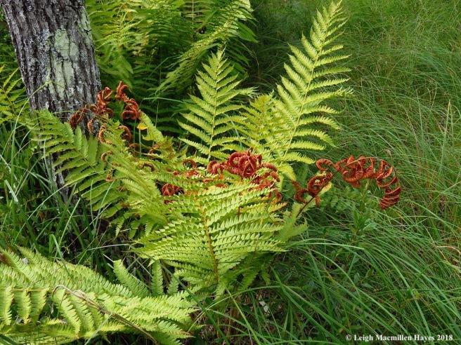 20-cinnamon fern