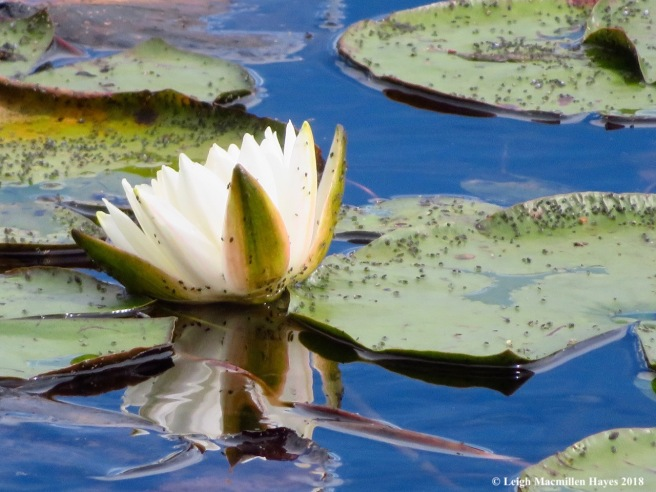 22-lily reflection and aquatic aphids