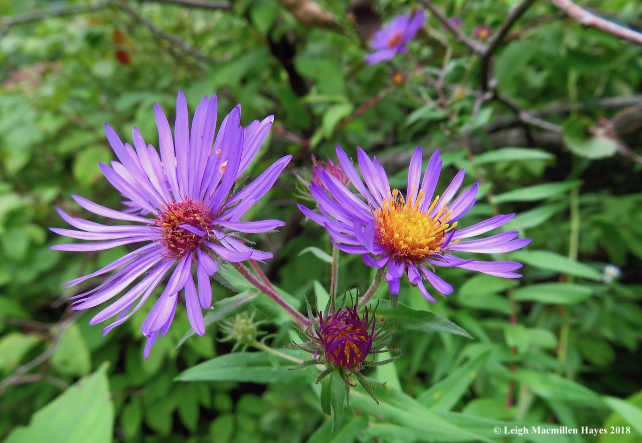 22-more asters