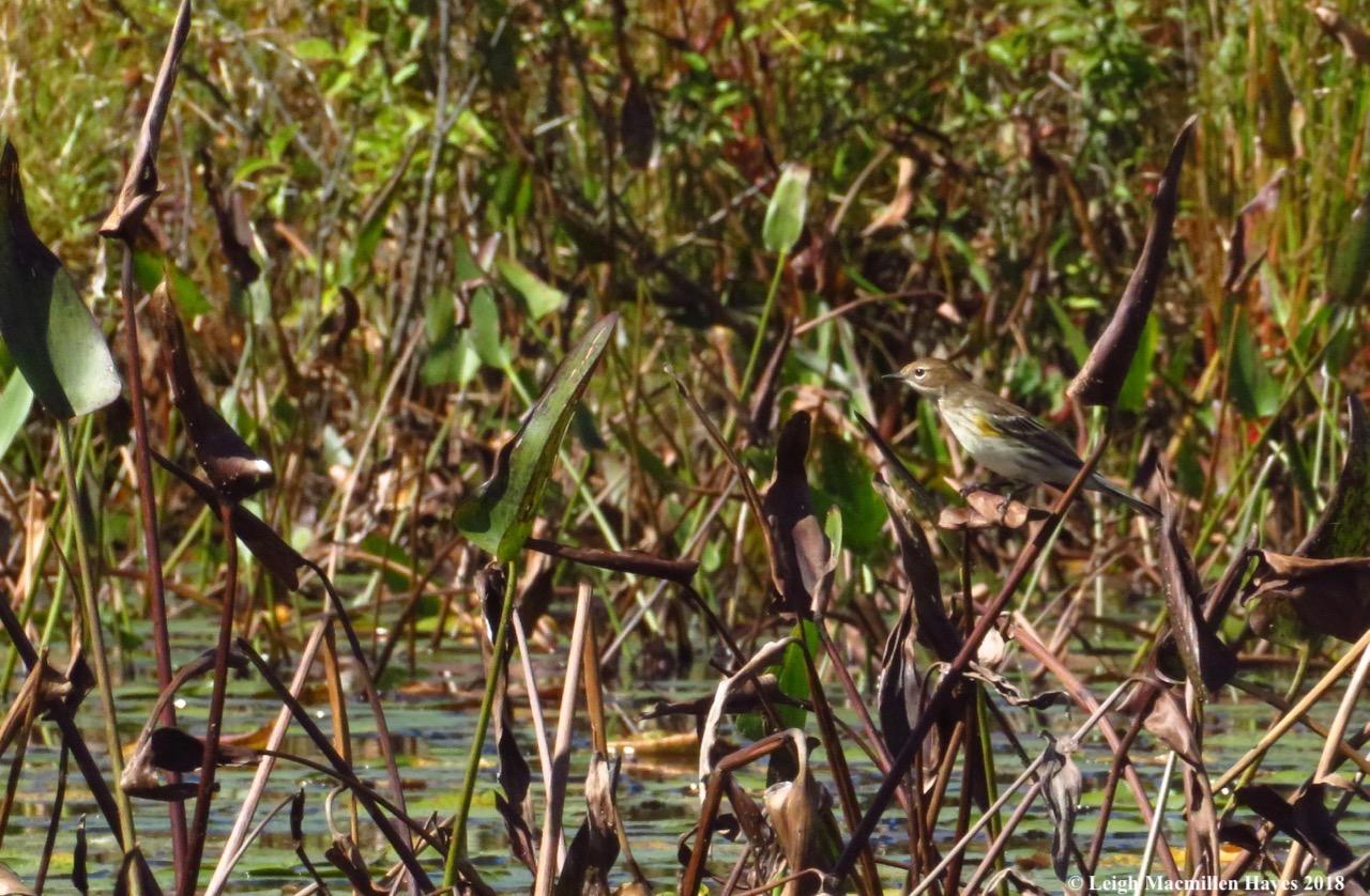 23-yellow-rumped warbler