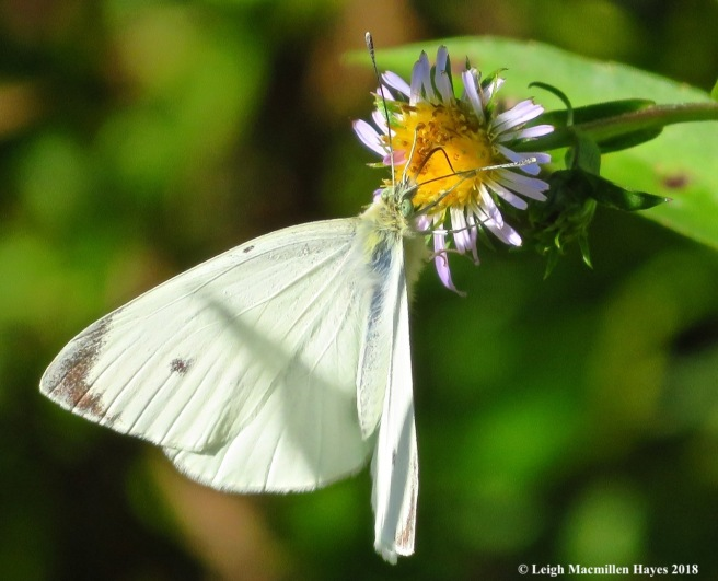 24-cabbage white butterfly