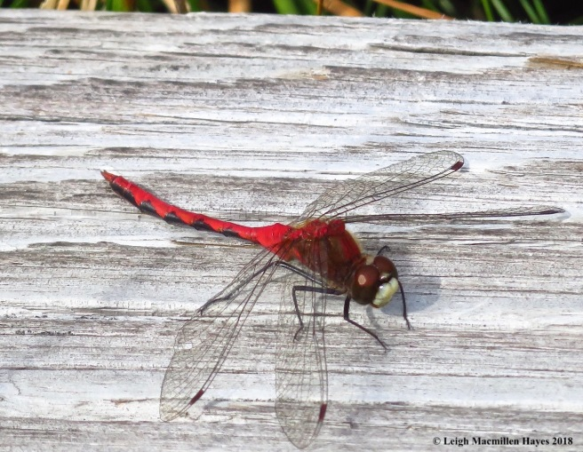 24-white-faced meadowhawk