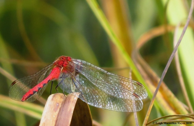 25-white-faced meadowhawk dining
