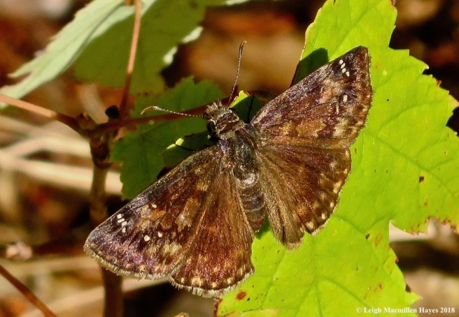 26-northern cloudywing skipper butterfly