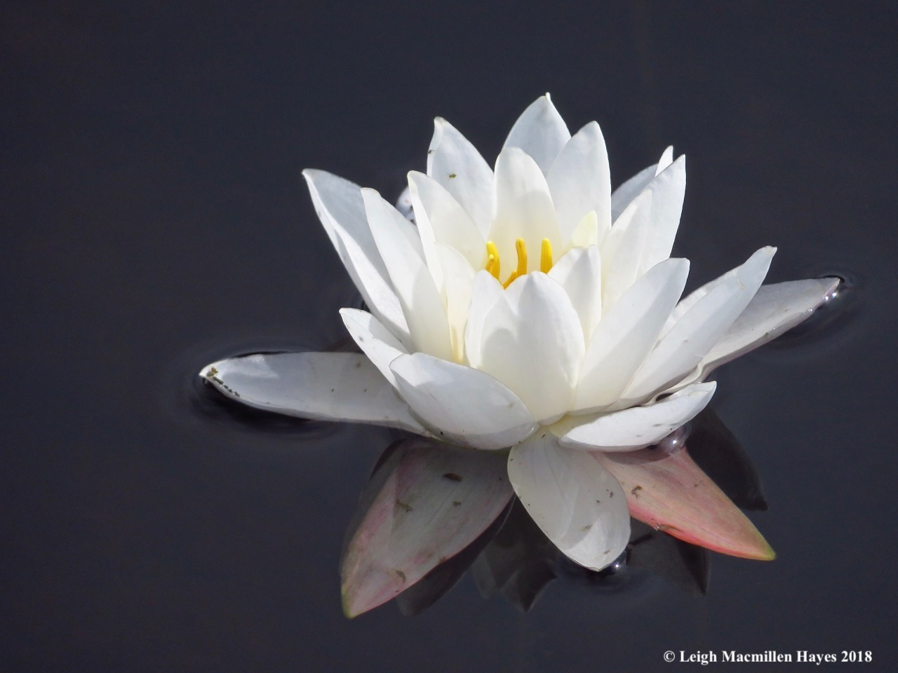28-fragrant water lily
