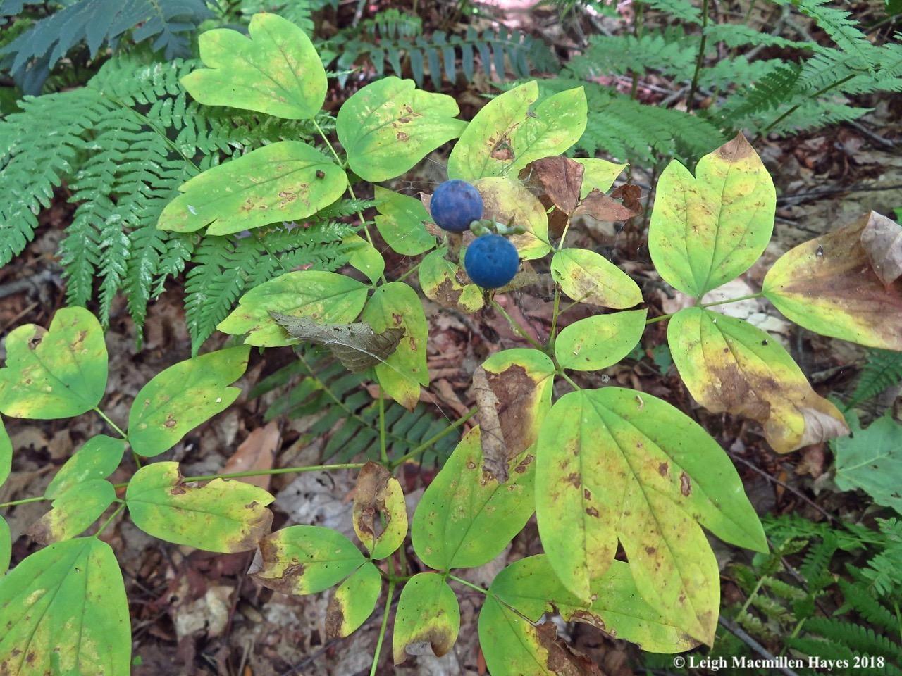 3-blue cohosh