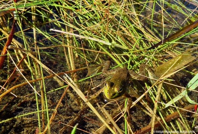 3-green frog