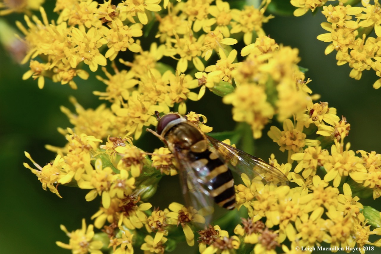 3-hoverfly