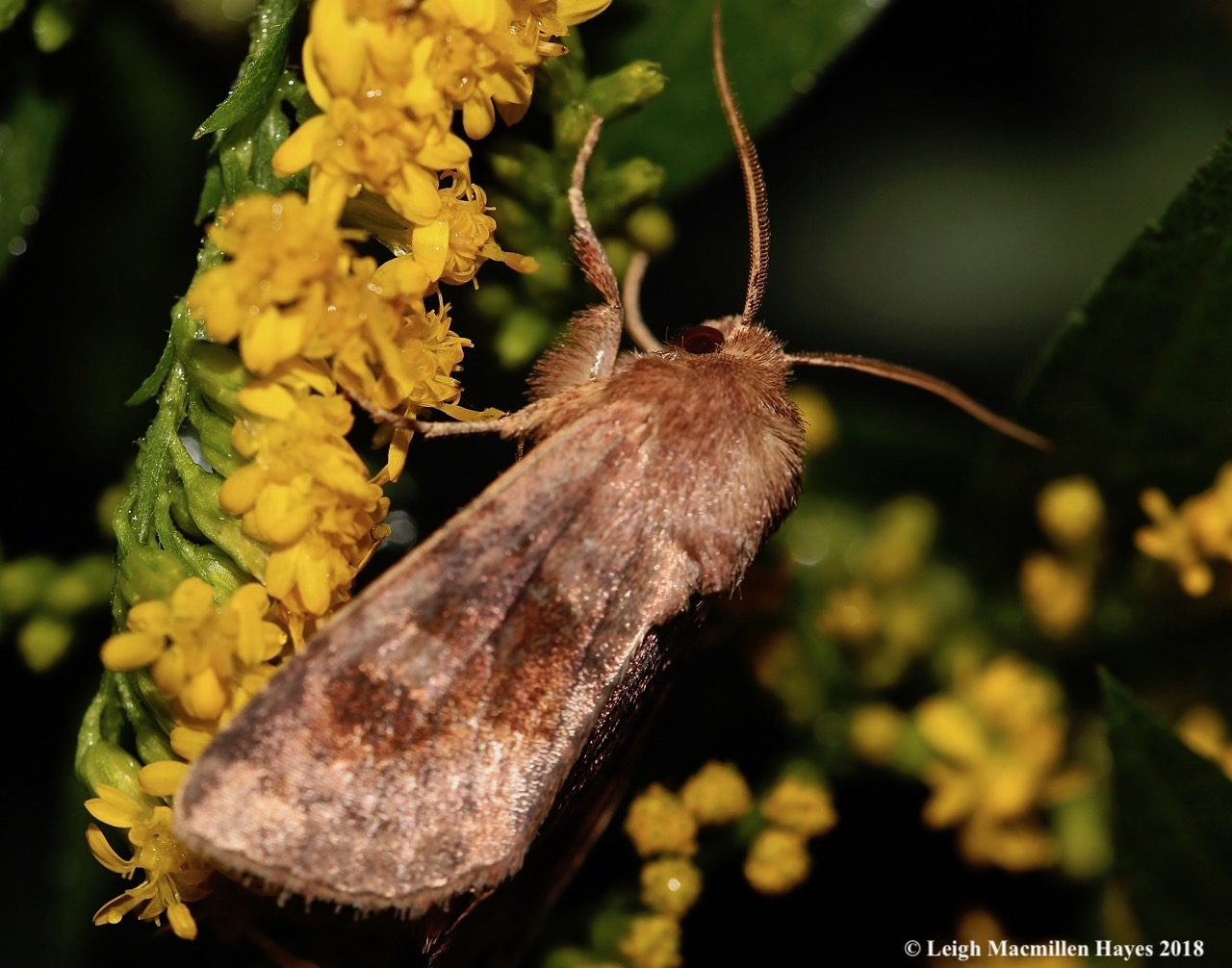 33-forage looper moth