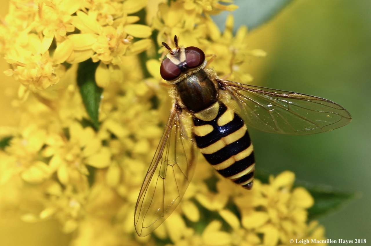 39a-hover fly