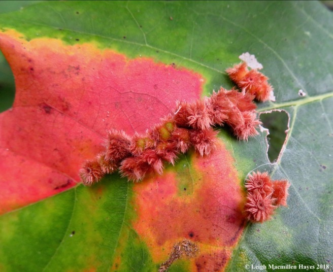 4-crystalline tube gall on red oak