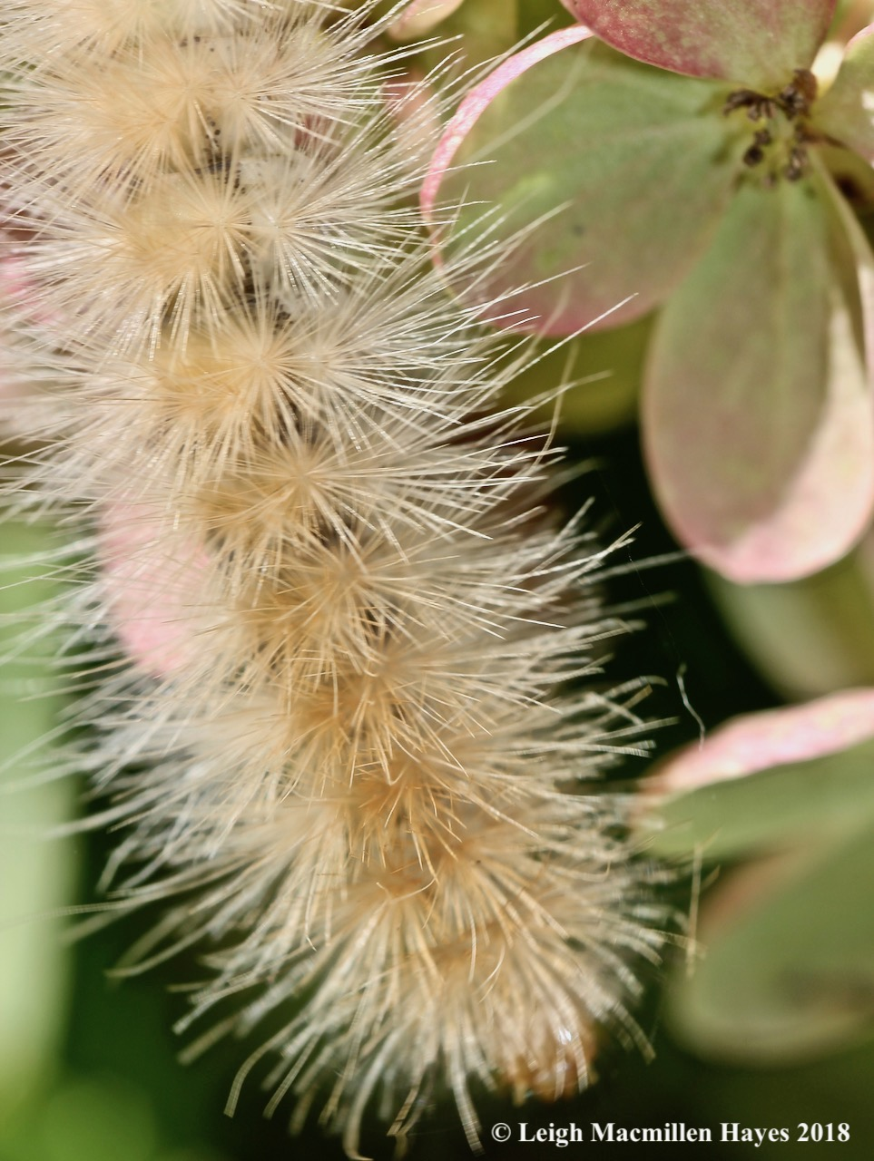 4-Tiger Moth Caterpillar