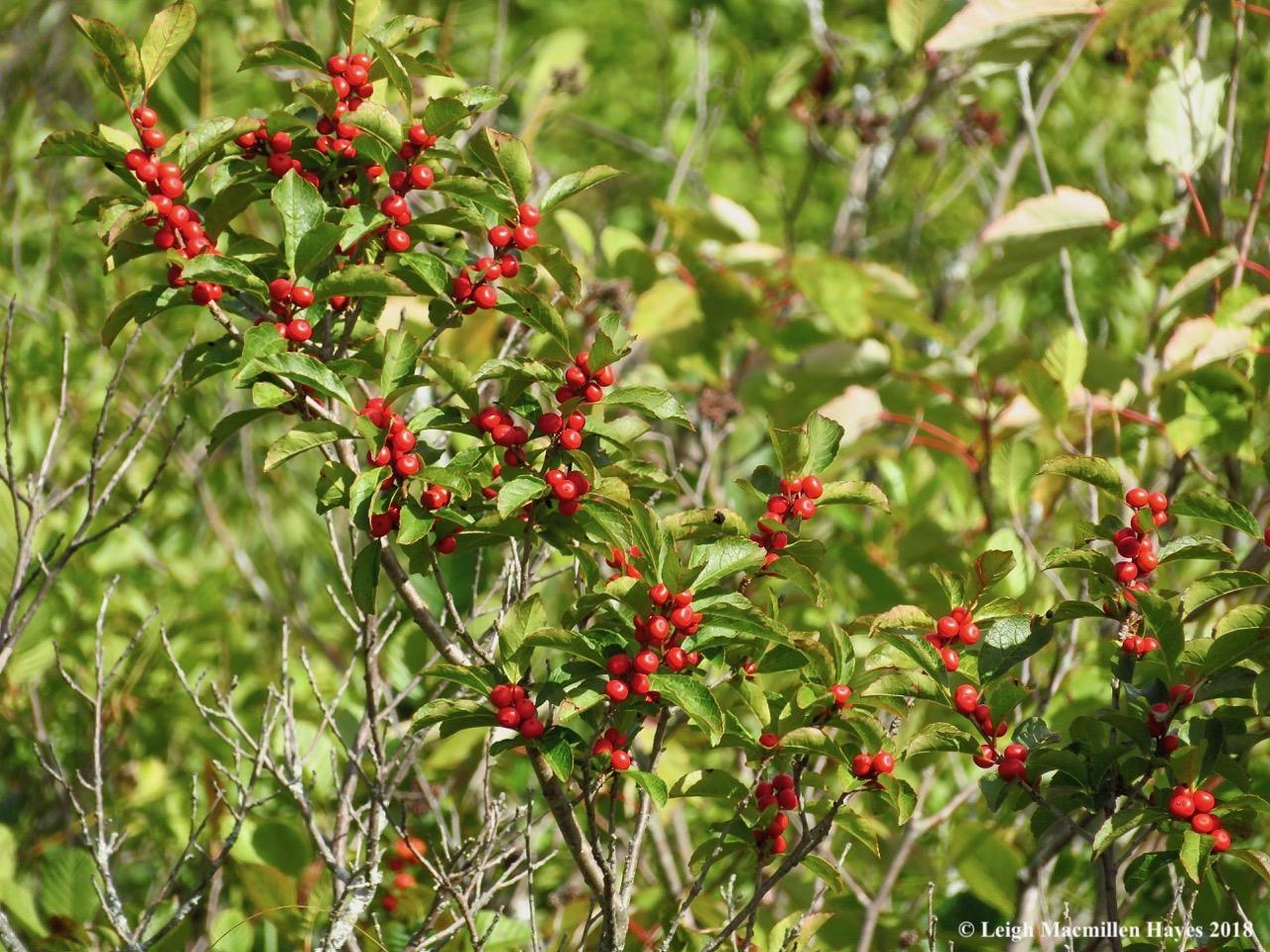 4-winterberry