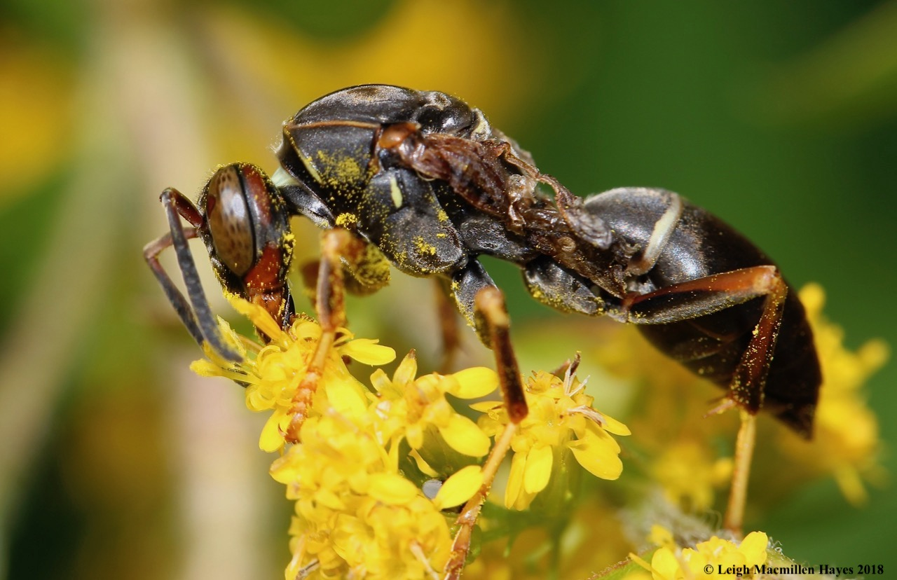 42-paper wasp