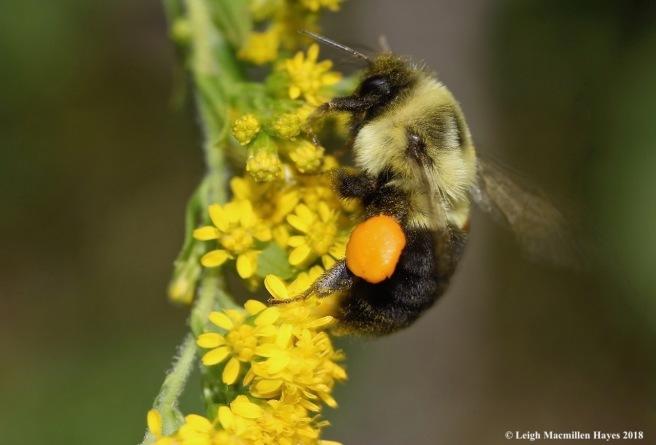 44-bumblebee