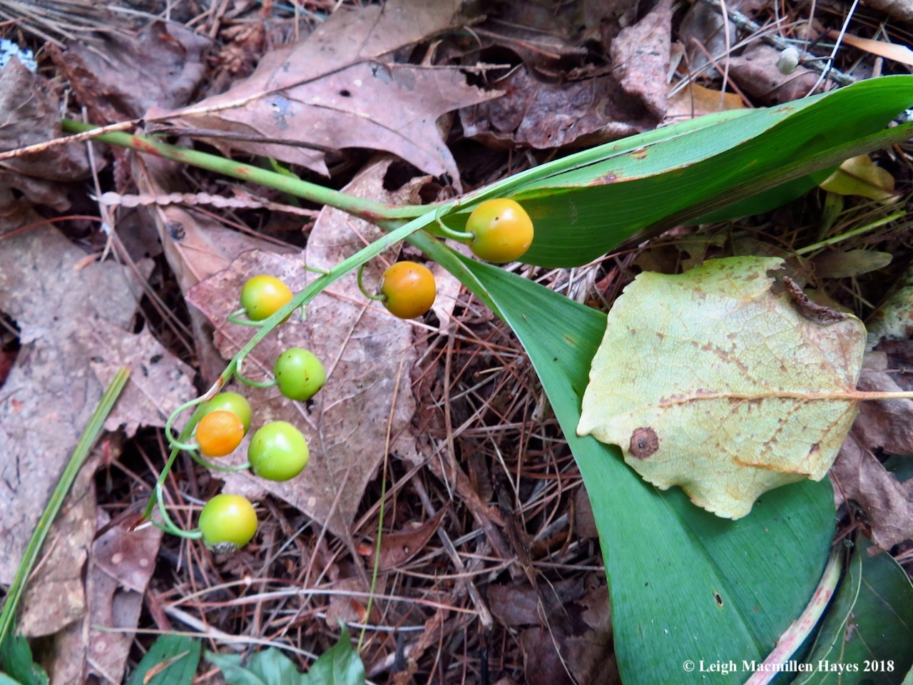 5-lily of the valley surrounding foundation