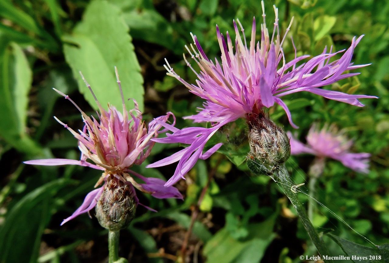 5-spotted knapweed and web